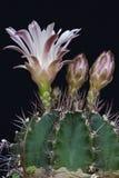 Cactus de Chin Imagen de archivo libre de regalías