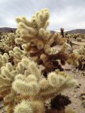 Cactus de Cholla Images libres de droits