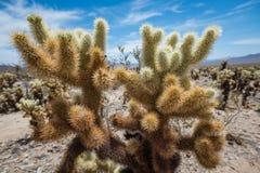 Cactus de Cholla Photos libres de droits