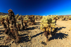 Cactus de Cholla en Joshua Tree Photos stock