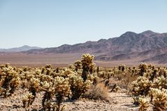 Cactus de Cholla en Joshua Tree Park imágenes de archivo libres de regalías