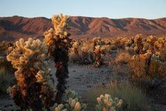 Cactus de Cholla en la salida del sol Imagen de archivo