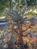 Cactus de Cholla encendido por la puesta del sol foto de archivo