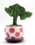 Cactus de corail mis en pot photographie stock libre de droits