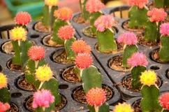 Cactus de couleur dans des pots noirs Photo libre de droits