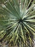 Cactus de cuillère de désert photos libres de droits