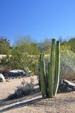 Cactus de désert Image stock