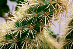 Cactus de Ehinopsis Fotos de archivo