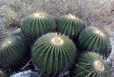 Cactus de erizo Imagenes de archivo