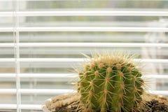 Cactus de fenêtre Photographie stock libre de droits