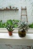 Cactus de fenêtre Images stock