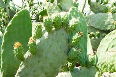 Cactus 1 de figue Image stock