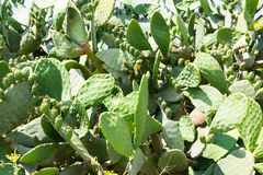 Cactus 2 de figue Photos libres de droits