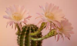 Cactus de floraison à la maison Photographie stock libre de droits