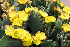 Cactus de floraison Photo stock