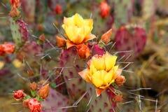 Cactus de floraison photo stock
