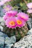 Cactus de floraison Photographie stock