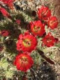 Cactus de floraison, désert de l'Arizona Photos libres de droits