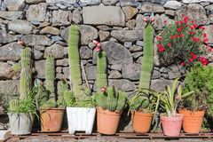 Cactus de floraison dans des pots de fleur avant un mur Photo stock