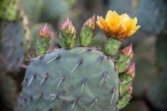 Cactus de floraison dans Grand Canyon, Etats-Unis image stock