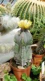Cactus de floraison dans Sofia Botanical Garden photographie stock libre de droits