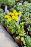 Cactus de floraison de beau vert dans Sofia Botanical Garden images stock