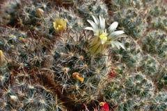 Cactus de floraison sur la fenêtre Image libre de droits