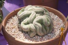 Cactus de forme de cerveau Image libre de droits