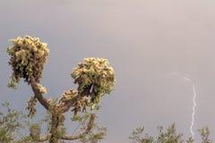 Cactus de foudre Photographie stock libre de droits