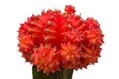 Cactus de fraise Images libres de droits