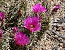 Cactus de hérisson de fraise Images stock