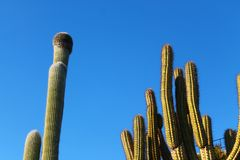 Cactus in de hemel royalty-vrije stock foto's