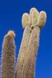 Cactus de Incahuasi Foto de archivo libre de regalías