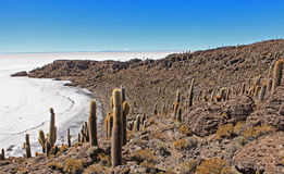 Cactus de Incahuasi Imagenes de archivo