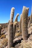 Cactus de Incahuasi Imágenes de archivo libres de regalías