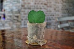 Cactus de Joya imagen de archivo libre de regalías