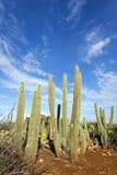 Cactus de Kadushi en Curaçao Fotografía de archivo libre de regalías
