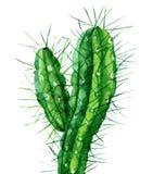 Cactus de la acuarela aislado en blanco Imagen de archivo