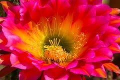Cactus de la antorcha Fotos de archivo