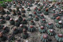 Cactus de la bola fotos de archivo libres de regalías