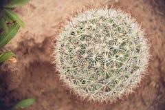 Cactus 2 de la bola Fotos de archivo libres de regalías