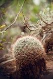 Cactus de la bola Imagen de archivo libre de regalías