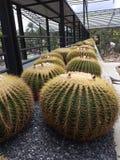 Cactus de la bola fotografía de archivo