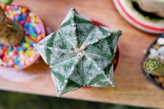 Cactus de la estrella Imagen de archivo libre de regalías