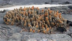 Cactus de la lava (las Islas Galápagos, Ecuador) Fotos de archivo
