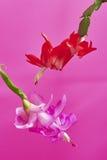 Cactus de la Navidad (Schlumbergera) Imagen de archivo