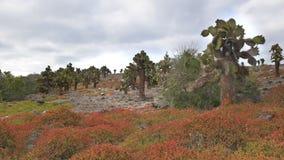 Cactus de la Opuntia en las plazas del sur en las Islas Galápagos almacen de metraje de vídeo