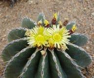 Cactus de la planta del higo chumbo Imagen de archivo libre de regalías