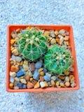 cactus de la Redondo-forma en pote plástico anaranjado Imágenes de archivo libres de regalías