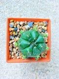 cactus de la Redondo-forma en pote plástico anaranjado Imagenes de archivo